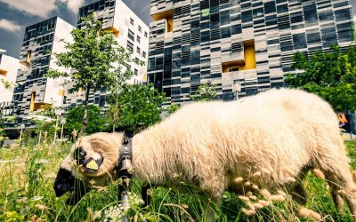 L'éco-pâturage d'Avignon : une renaissance de la nature en ville !